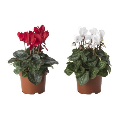 cyclamen-potted-plant